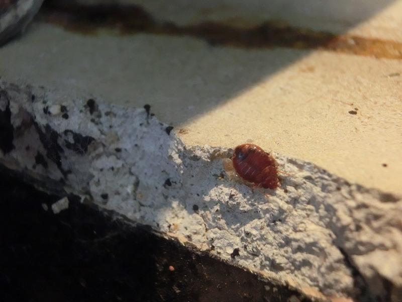 トコジラミ(南京虫)駆除 ホテル客室 施工中 生体